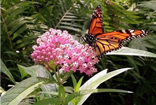 Add Milkweed to Attract Monarchs to Your Garden