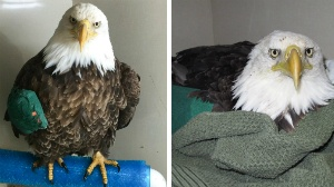 Injured bald eagle expected to make full recovery