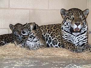 Milwaukee Zoo introduces new jaguar cubs