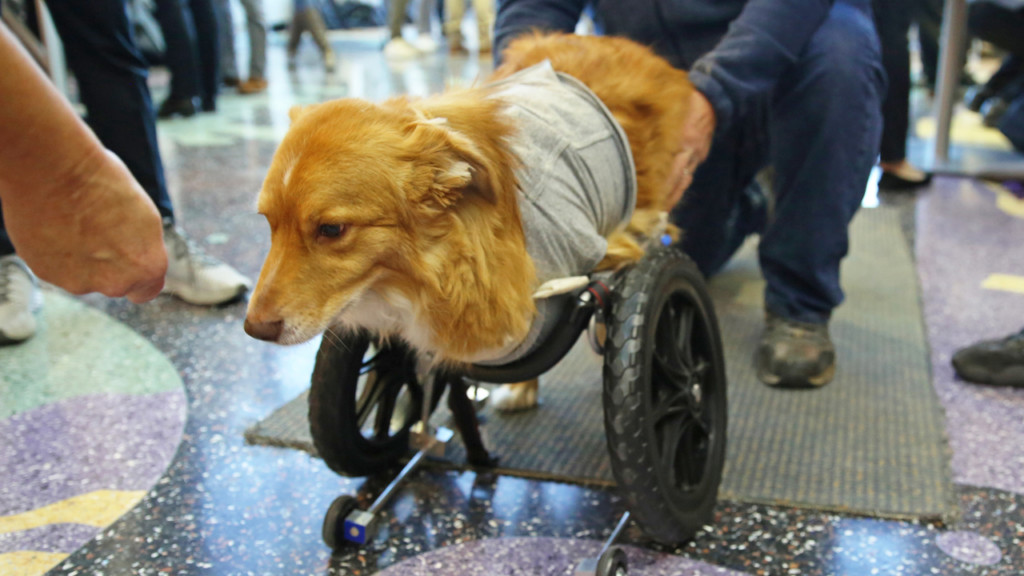 UW-Madison students design cart for dog without front legs