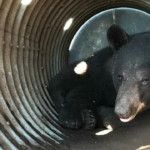 Bear sought for weeks captured