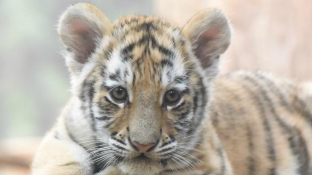 Tiger cubs raise cuteness quotient at Milwaukee County Zoo