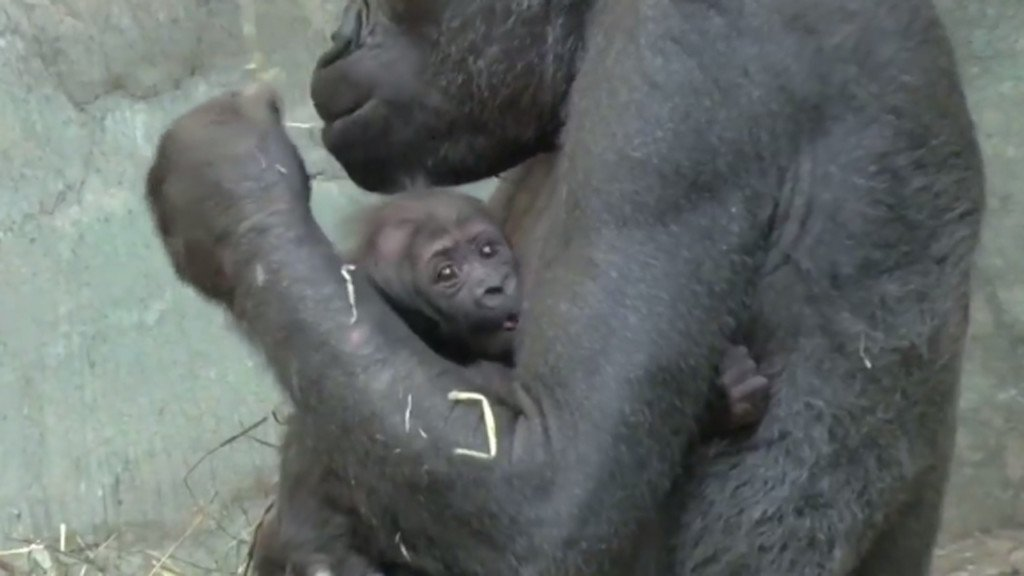 ZOO BABY! Milwaukee zoo has a new tiny gorilla