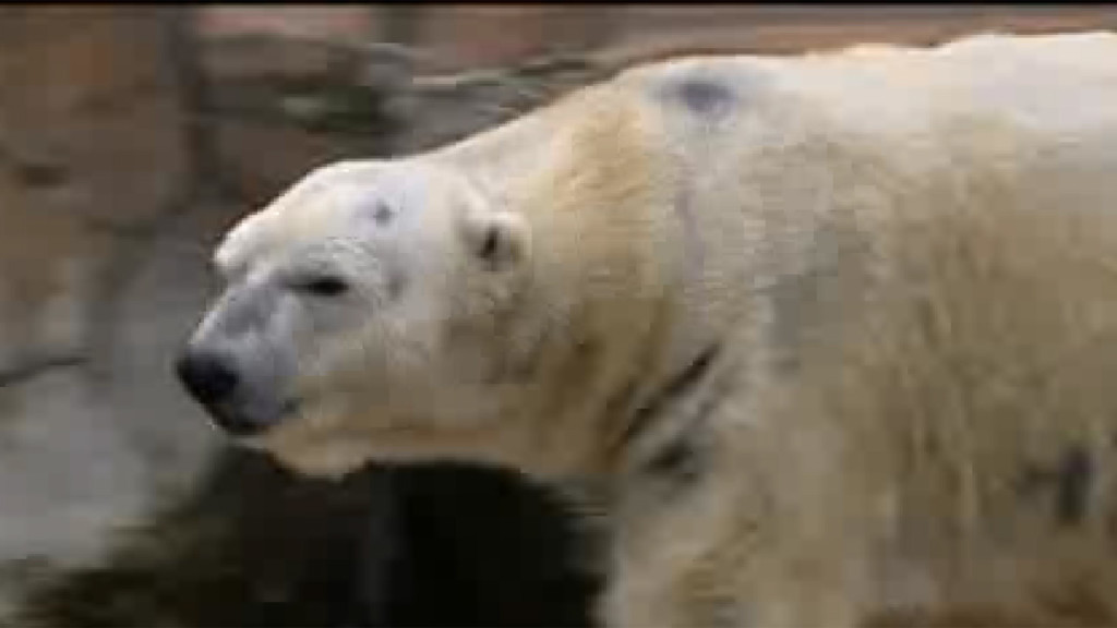 Zoo euthanizes polar bear that used to be in Madison