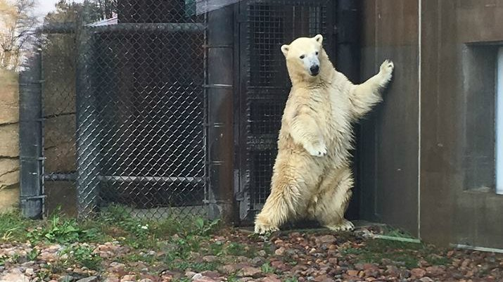 2-year-old polar bear explores new home in Henry Vilas Zoo