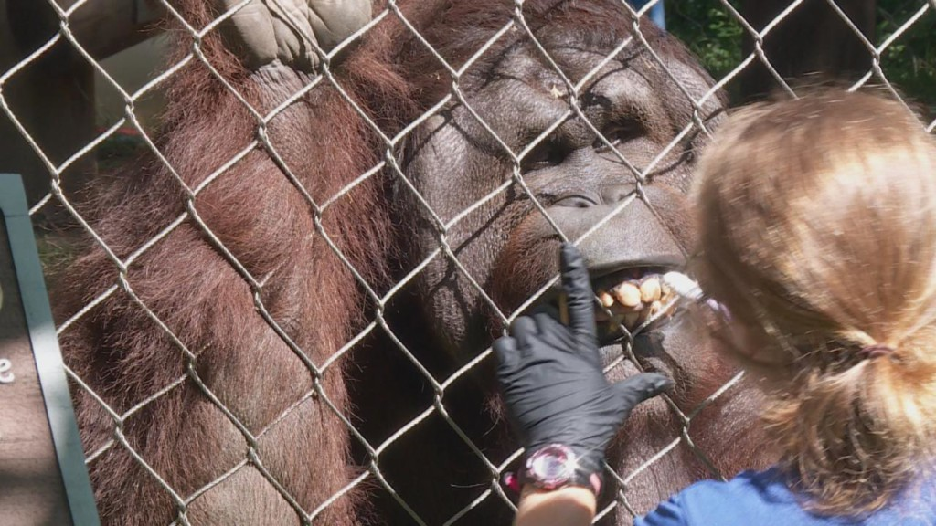 Orangutan Conservation Day informs public of dangers in palm oil farming