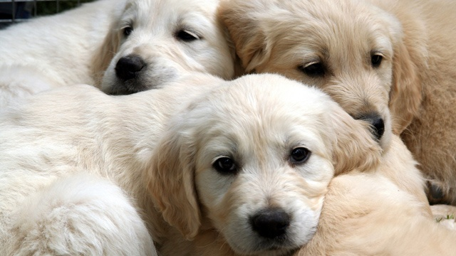 Pet store puppies may be source of bacterial infection outbreak