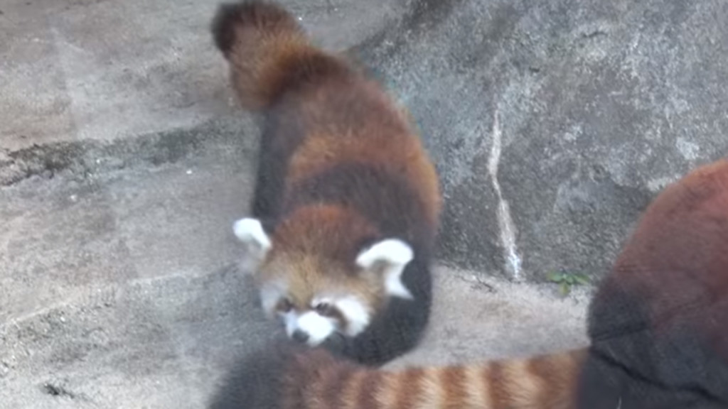 Milwaukee zoo visitors get first glimpse of red panda cub, Kiki