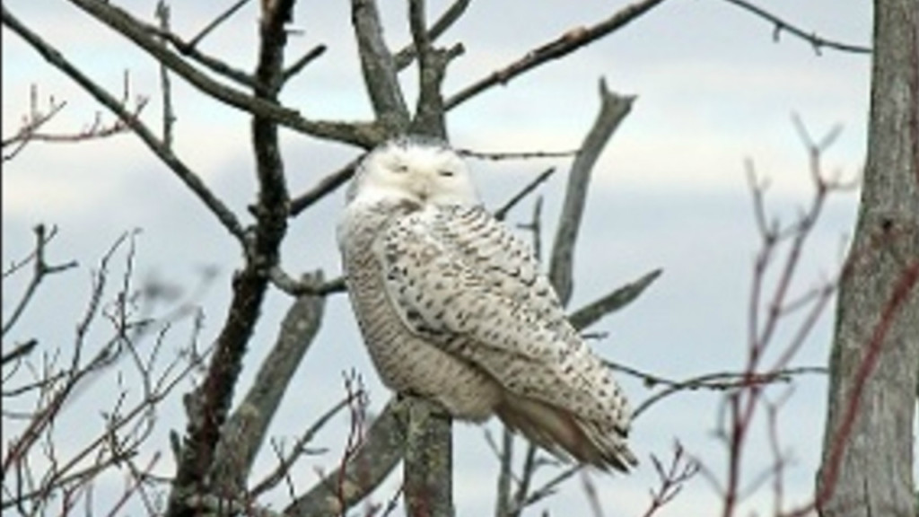 Wisconsin sees fewer snowy owls than in recent winters