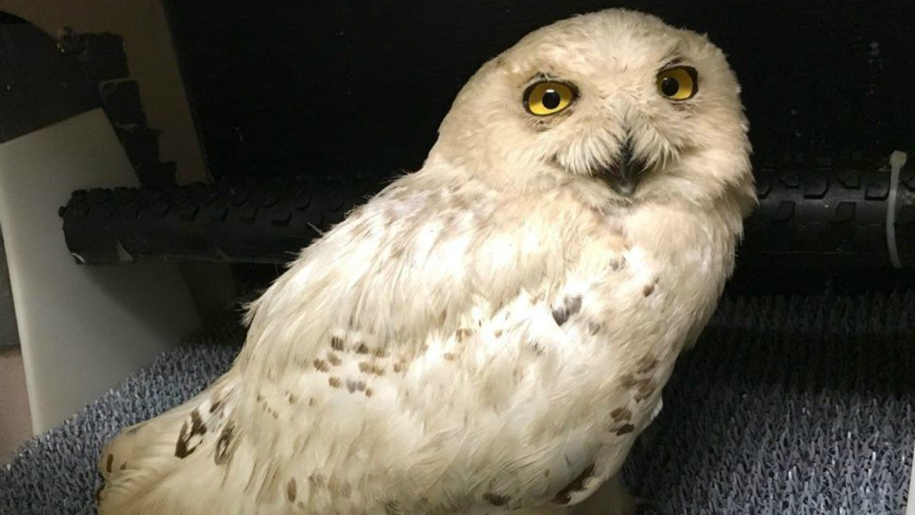 Airport worker shoots, kills snowy owl to prevent collision
