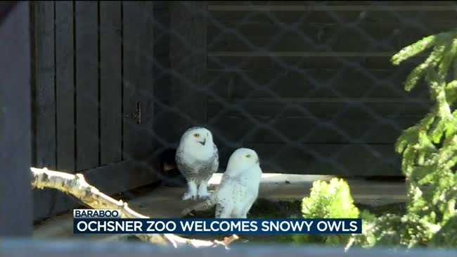 Two snowy owls come to the Baraboo Zoo