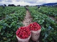 Strawberry season sees a late start