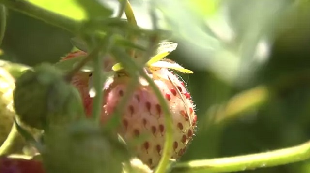 Cooler temperatures delay strawberry picking