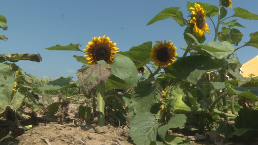 Eugster's Farm's Sunflower Days returns