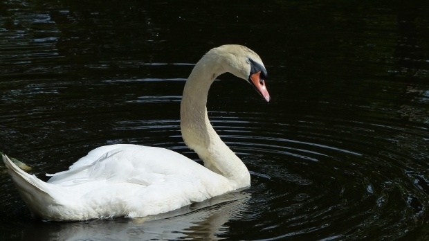 Wayward swans spend several days on the lam