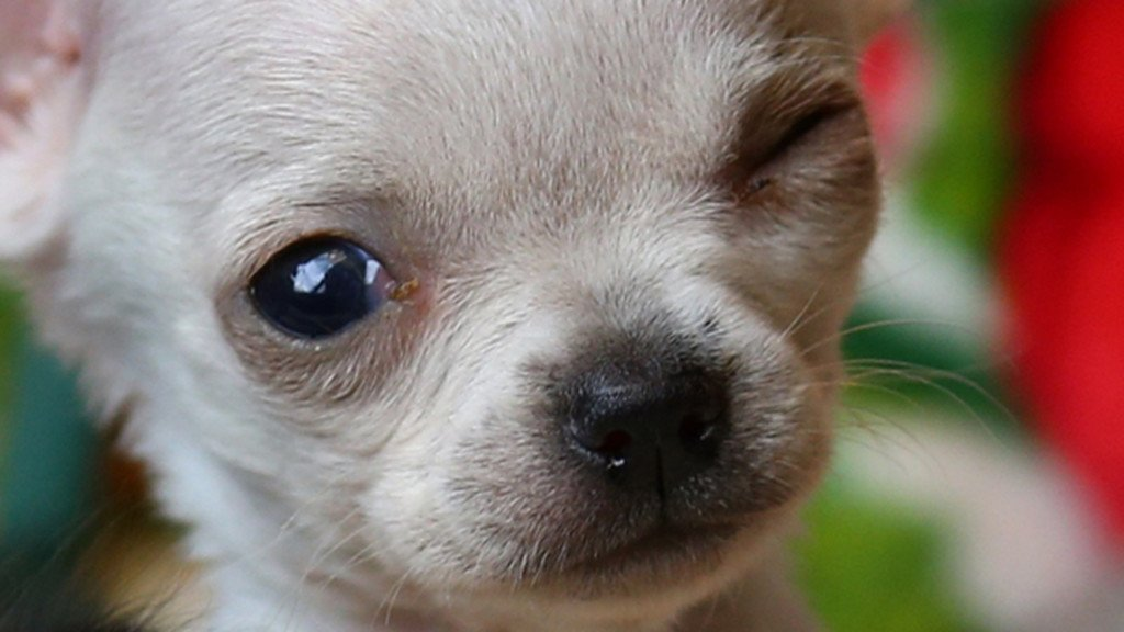 Record-setting tiny Chihuahua pup finds forever home
