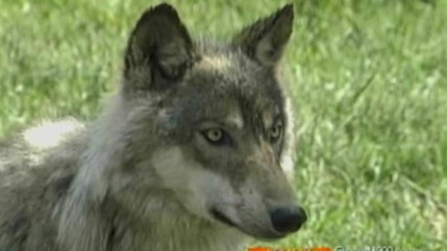 DNR proposes wolf-dog hunting rules