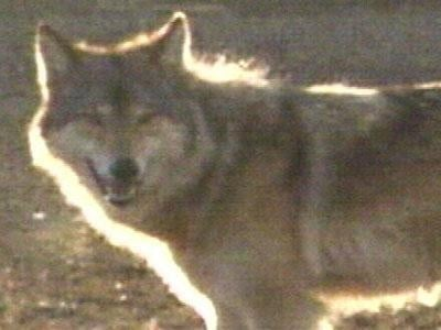Judicial decision on wolf hunt delayed