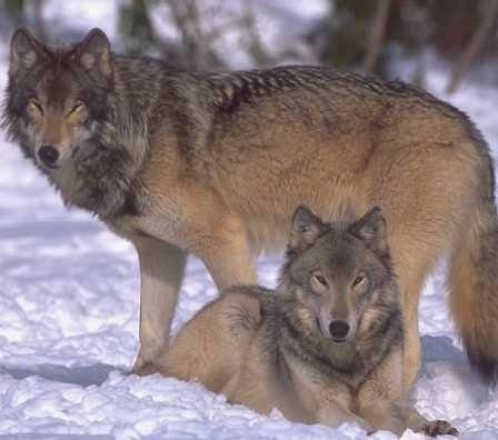 Judge refuses to dismiss wolf hunt challenge