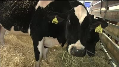 Walker hangs out with cows at dairy expo