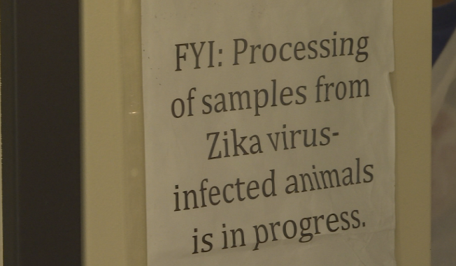 'Something goes kind of wrong with that process': Zika virus linked to miscarriages, stillbirths