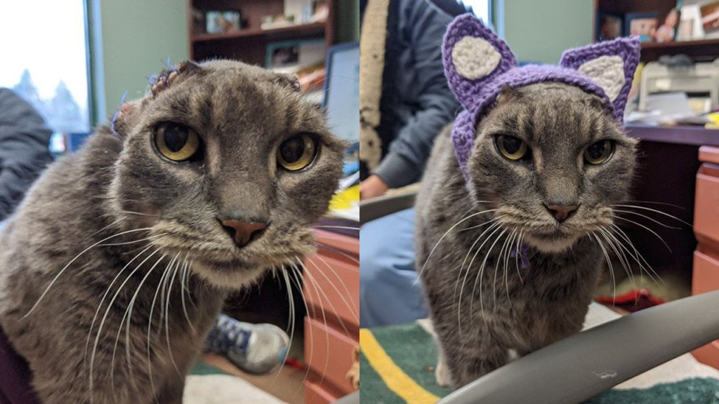 Lady the cat wearing a set of crocheted ears