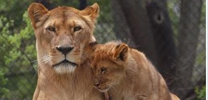 Beloved lion at Henry Vilas Zoo has died
