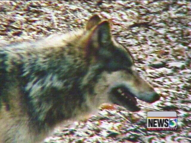DNR sets hearings on wolf hunt rules