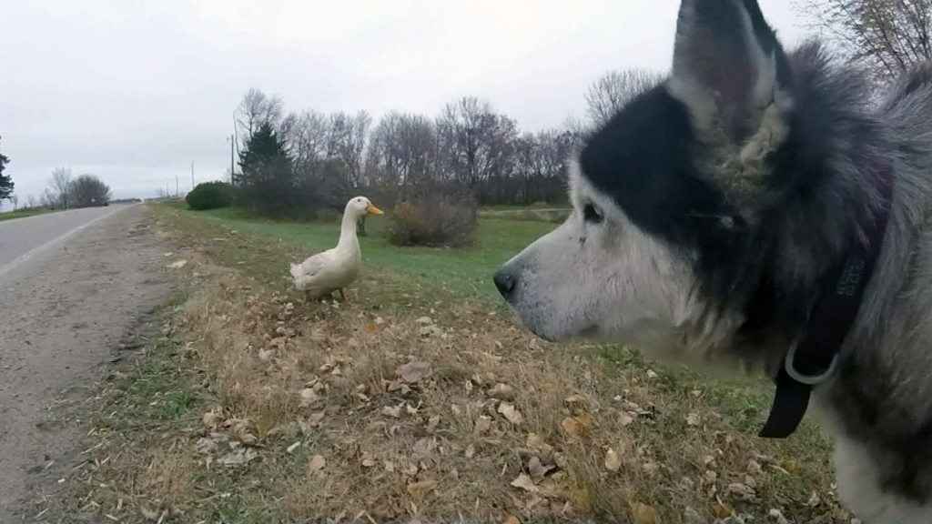 Quack, quack, bark! Husky, duck form unlikely friendship