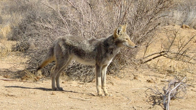 Police warn 'zombie' dogs are actually coyotes