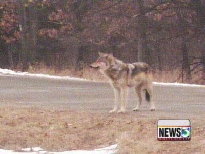 Board approves wolf hunt scope statement