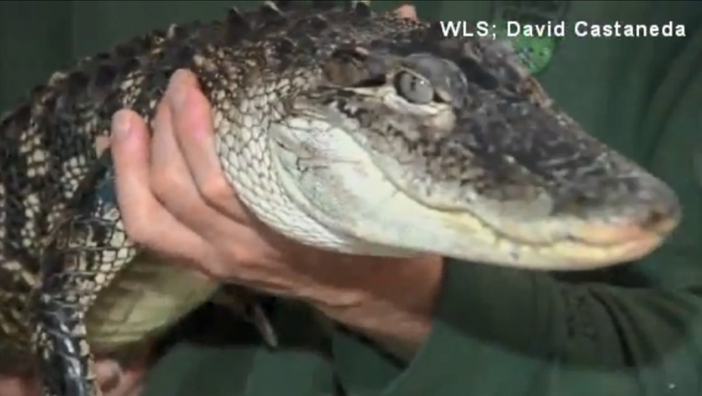 Alligator rescued from Lake Michigan