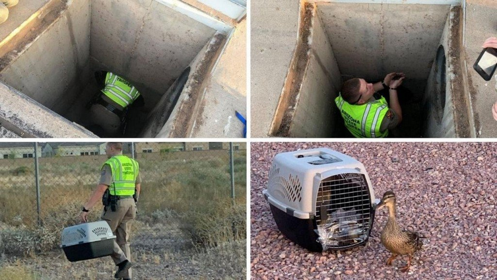 Baby duck rescue mission ends happily