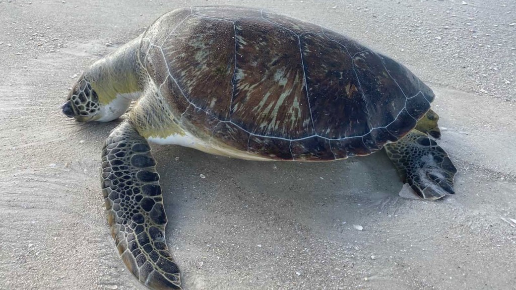 Red tide likely cause of high number of sea turtle deaths
