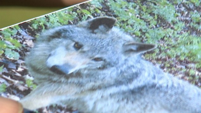 Calf killed in first wolf attack of year in Columbia County