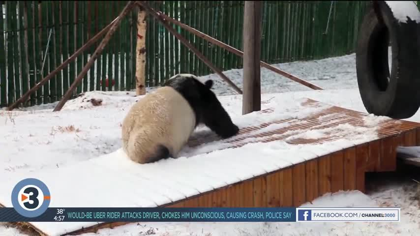 Newshounds Now Update: A daredevil groundhog, when pigs fly, a snow-loving panda