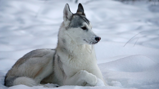 'Game of Thrones' fans buying huskies; then abandoning them