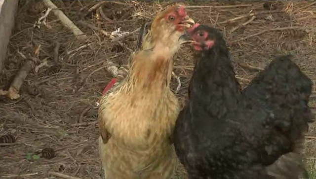 Avian influenza may threaten poultry farms for year or more