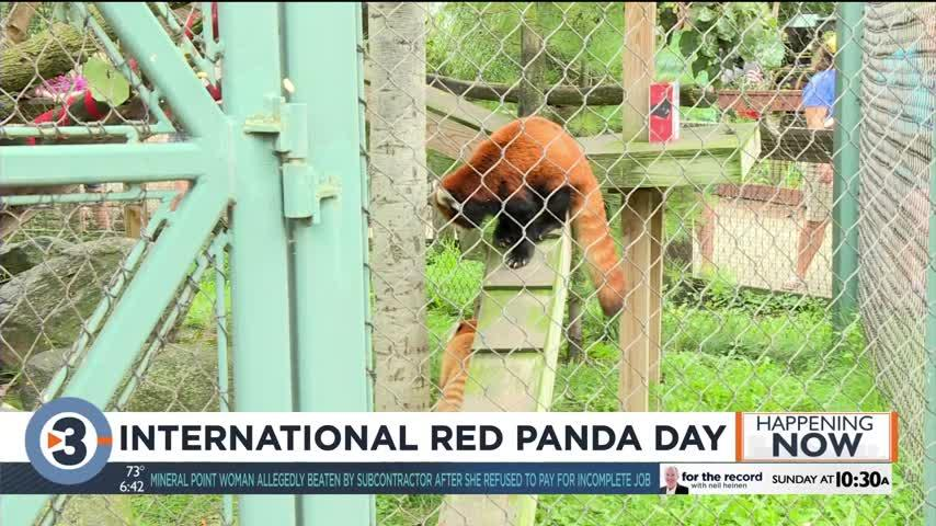 International Red Panda Day pushes for protection