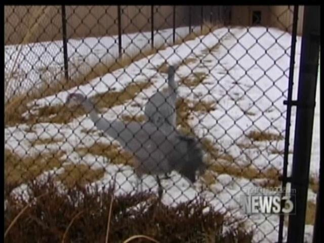 Sandhill cranes a problem for some farmers