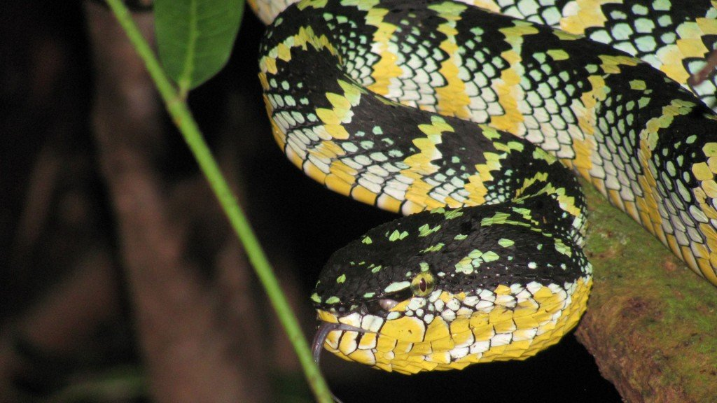 Could snake venom help heart patients?