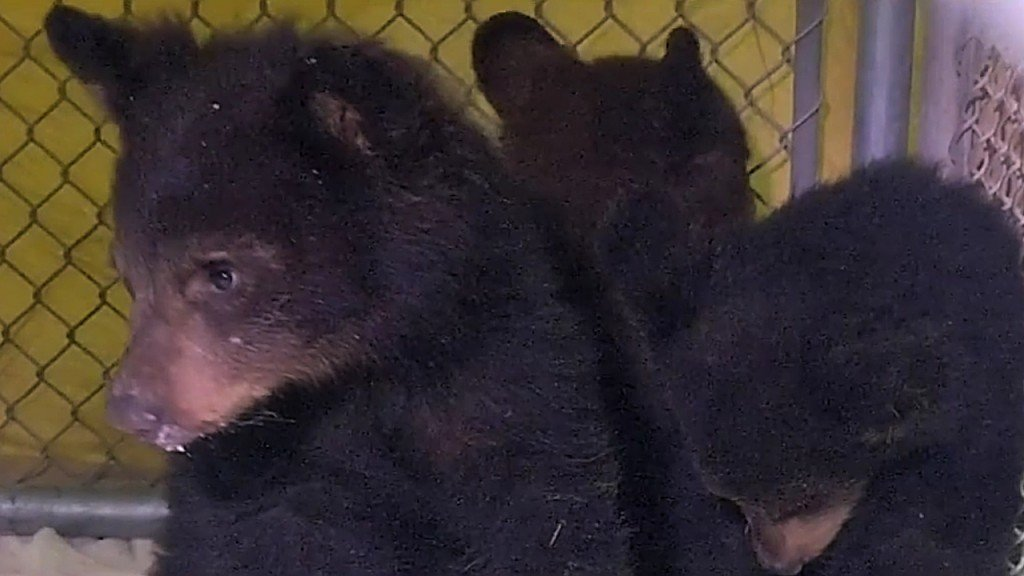 Bear cubs rescued after mother killed in car crash