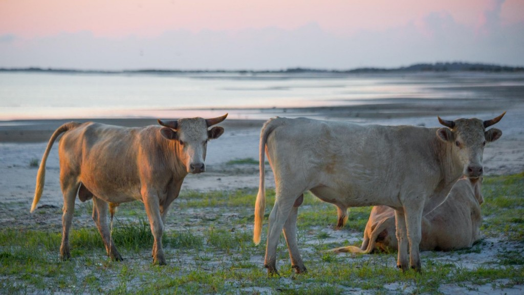 Cows swept away during Hurricane Dorian found alive on island