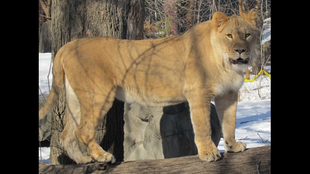 New African lion arrives at Henry Vilas Zoo