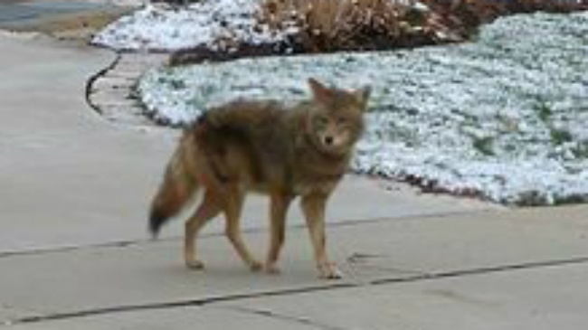 East siders not feeling  same support in city coyote issue