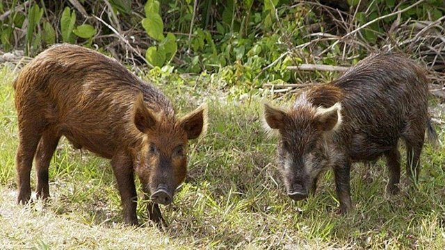 DNR urges deer hunters to look for wild pigs