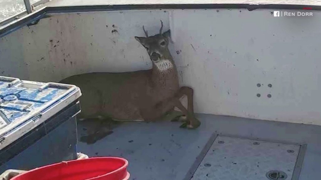 Maine lobstermen find deer swimming 5 miles out to sea