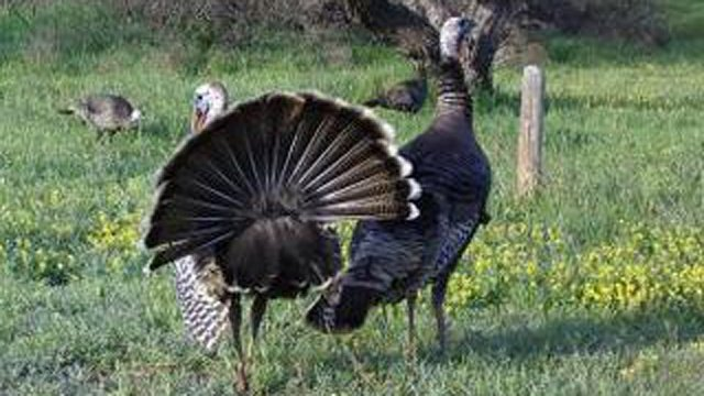 DNR: Hunters killed 11 percent more turkeys this spring