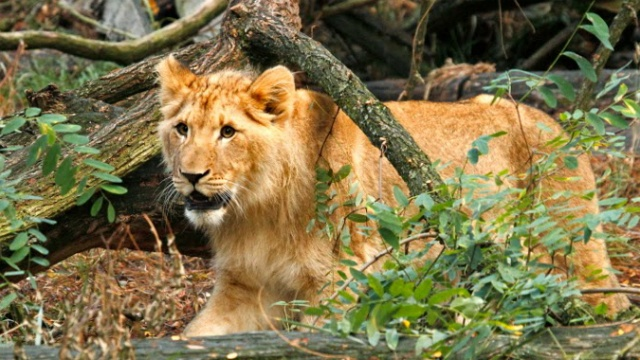 Zoo reaches goal to bring new lion cub to Madison
