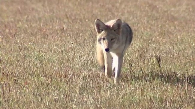 Why the coyotes are here in Madison–and in every city